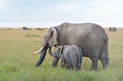 African elephant with her calf at Masai Mara National Reserve, Kenya