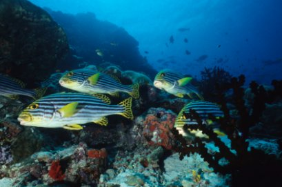 School of lined sweetlips on coral reef in Papua New Guinea