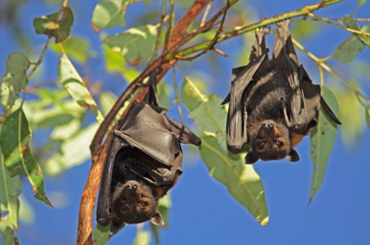 Black flying foxes hanging in a tree, Kakadu National Park, Northern territory, Australia