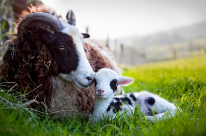 Jacob ewe with lamb