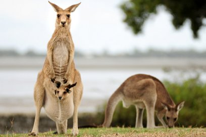 Kangaroos in Beachmere, Queensland, Australia