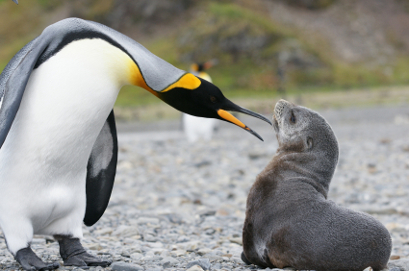 King penguin and young fur seal