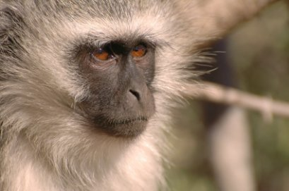 Vervet monkey in Kruger National Park, South Africa